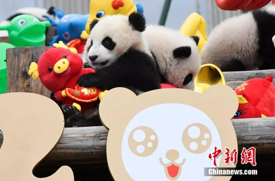 而基地幼儿园的大熊猫宝宝们主要是喝牛奶,能量很高,所以它们比起一般