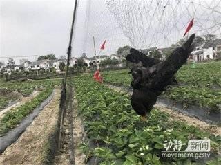 """为防鸟儿""""偷菜"""",他们私设捕鸟网,不少鸟儿已中招"""