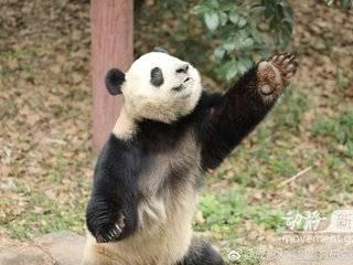 """贵阳黔灵山公园将迎来大熊猫""""星宝""""和""""海浜"""",预计明日抵达"""