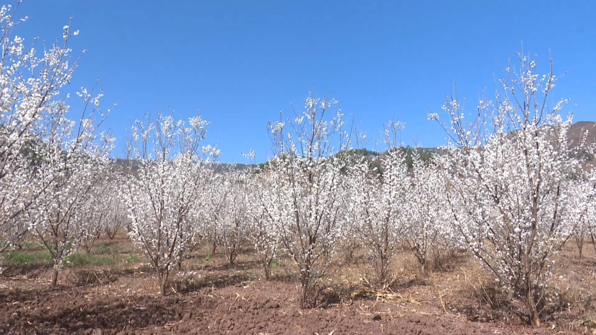 樱桃花儿朵朵开 致富产?#31561;?#30011;来
