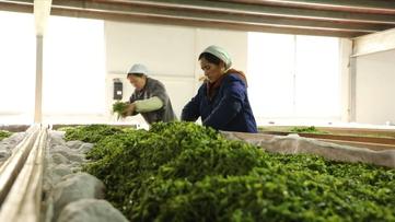 贵州黎平县:七千多台茶机开足马力生产明前茶