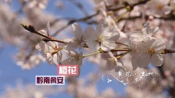 美!瓮安樱花照水,碧江菜花映日