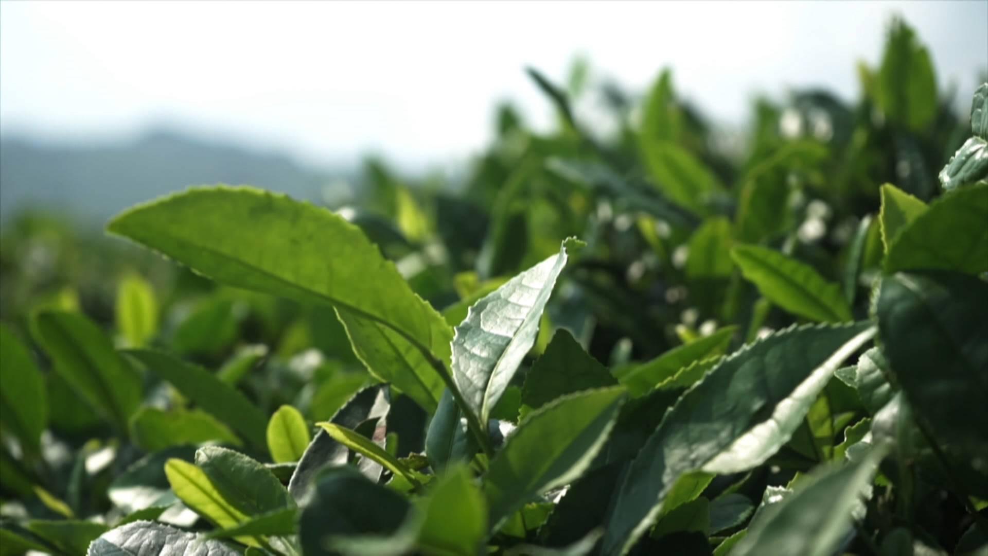纪录片《黔茶》在央视播出 茶商茶企广泛关注