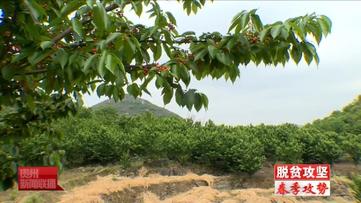 六枝樱桃满园红 百姓增收甜在心