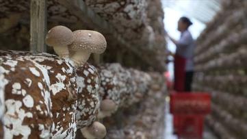 贵州食用菌产业发展大会将在安龙举行