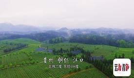 请你喝杯贵州茶:江口抹茶,背后原来有这么多故事