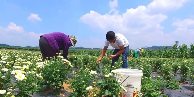贵州新闻联播   安顺西秀区:14万亩中药材 创出9亿大产业