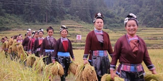贵州新闻联播 | 黎平:禾糯成熟十里香 农民丰收谷满仓
