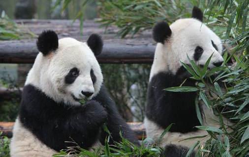 历史首次!三只大熊猫将在四川以外的地方野化放归