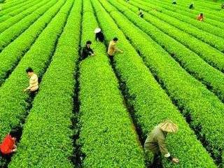 查处31起,罚款近10万元!贵州这样整治茶园草甘膦等化学除草剂