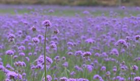 一朵朵一簇簇紫色柳叶马鞭草盛开,向你招手,叫你快来!