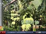 走进乡村看小康丨搬香蕉不再费力气 看贵州香蕉搬运神器